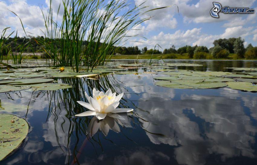 lago, lirios de agua, orilla, flor blanca