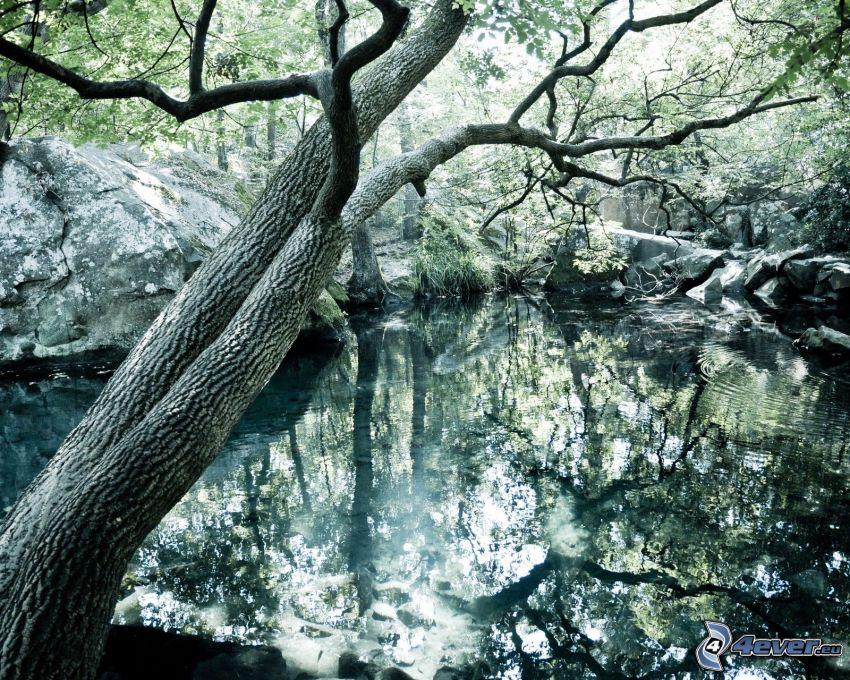 lago en un bosque, rocas, árbol