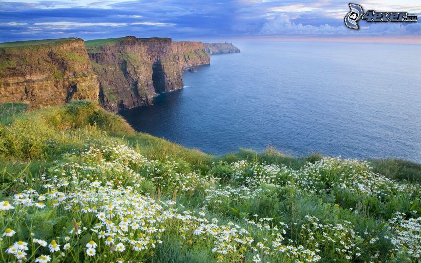 acantilados costeros, mar, margaritas