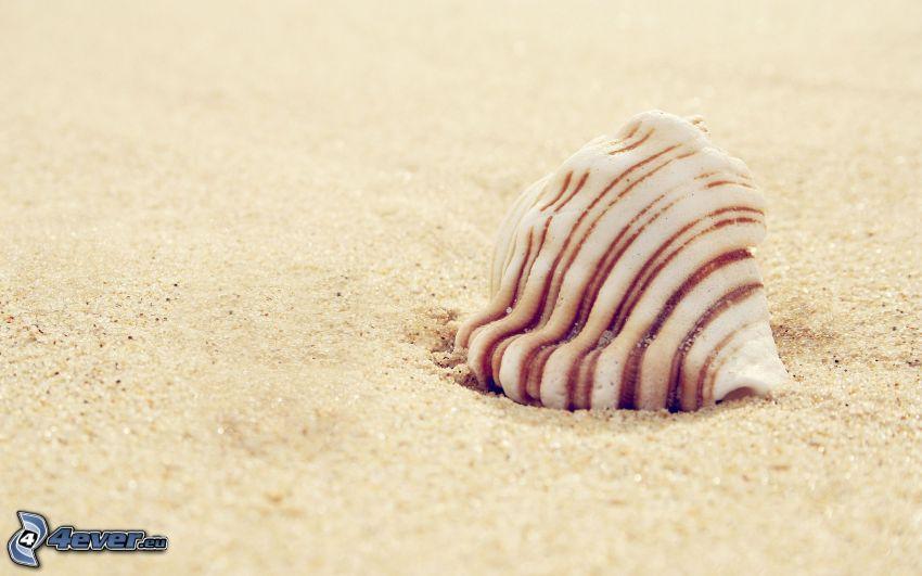 concha en la playa, arena