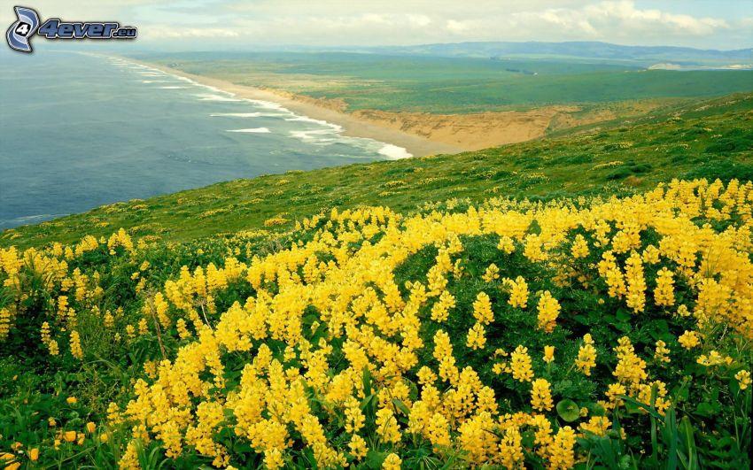 flores amarillas, costa, mar