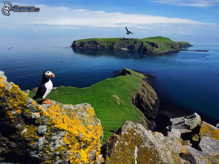 Fratercula arctica, vista al mar, acantilados costeros, rocas, isla