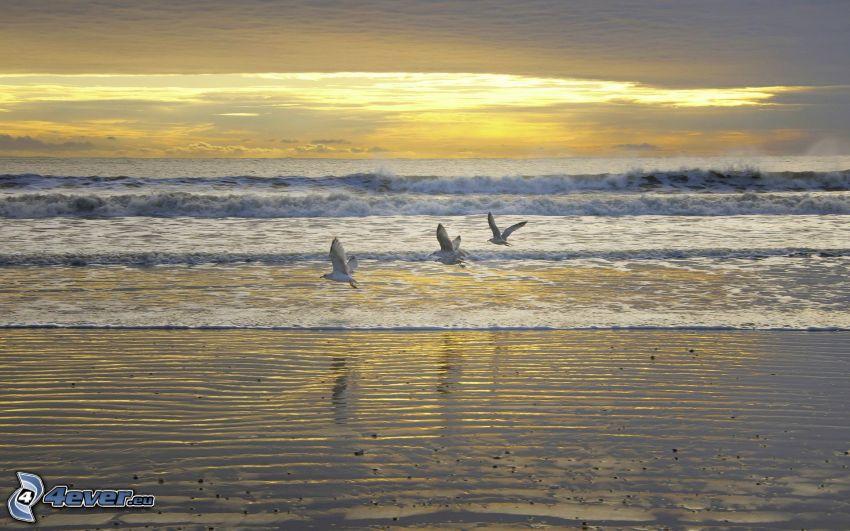 gaviotas, olas en la costa, playa al atardecer, mar