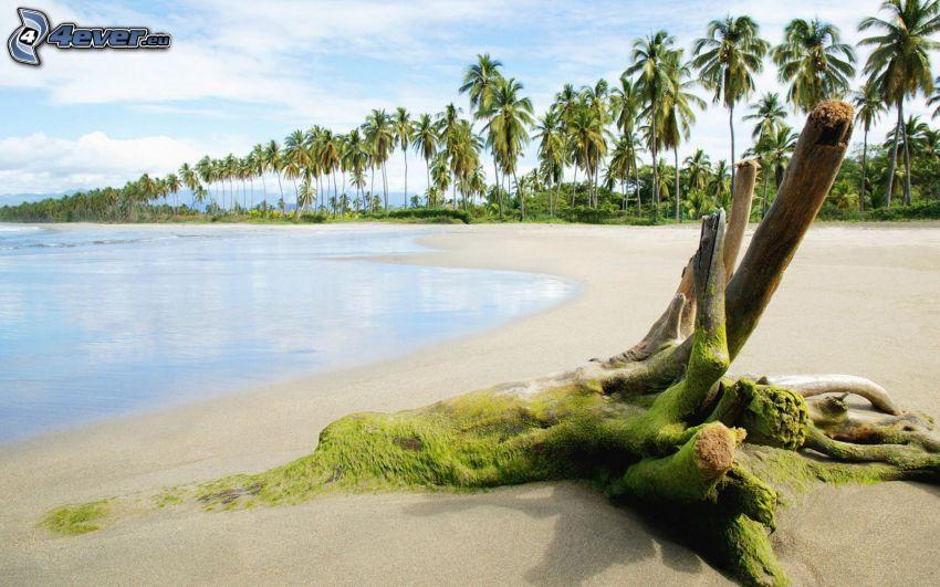 raíces, musgo, playa de arena, mar, palmera