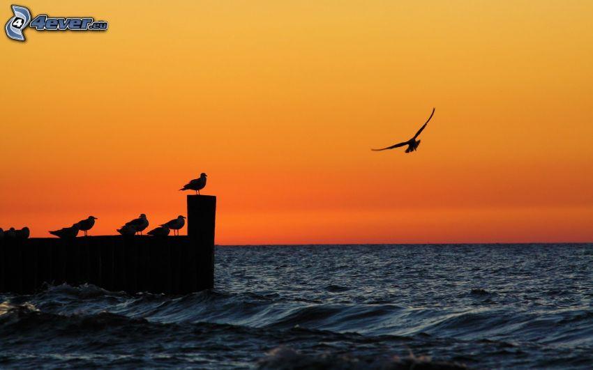 siluetas, aves, mar, silueta del ave