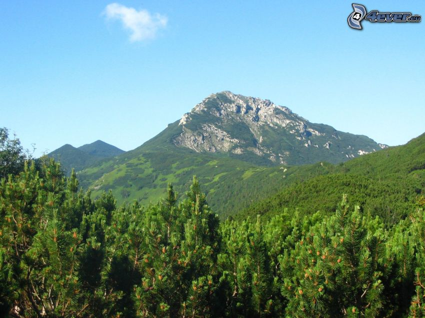 cima, monte rocoso, pino enano, bosque