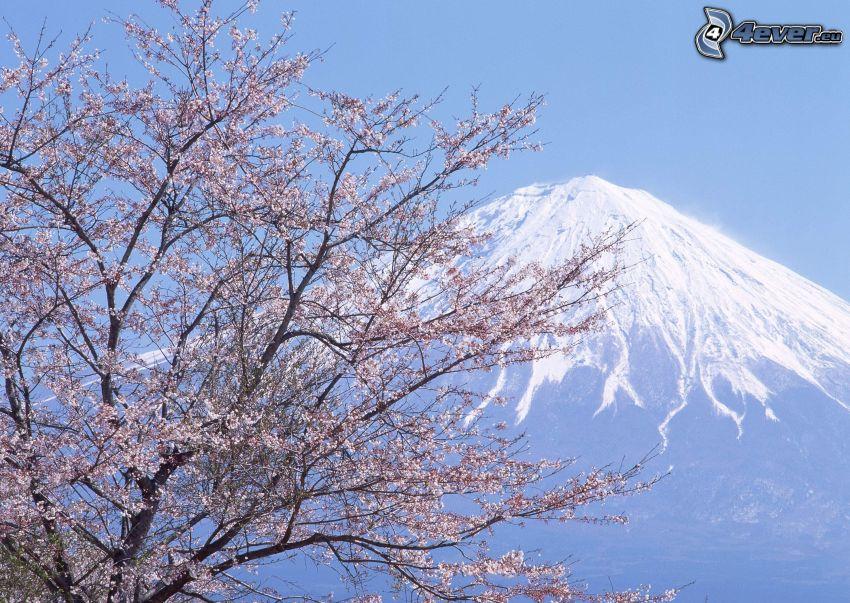 monte Fuji, árbol florido, primavera, colina, nieve