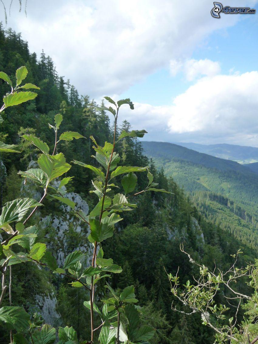 ramita, vista, bosque, árboles coníferos