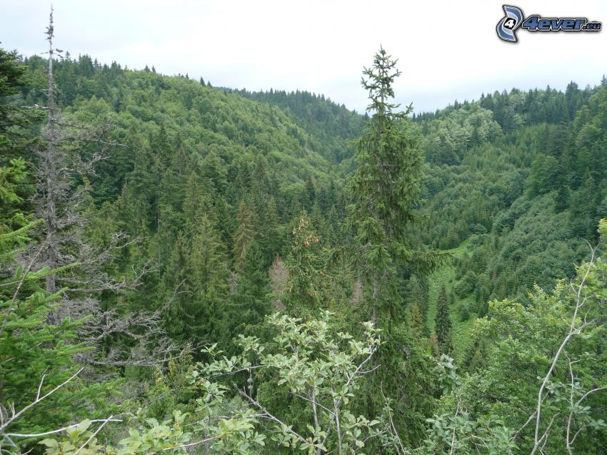 Slovenské rudohorie, bosque, árboles coníferos