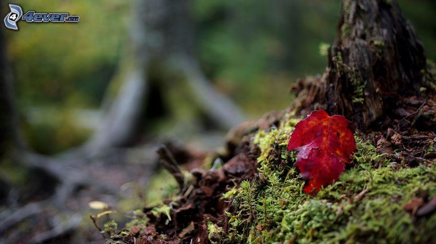 musgo, hoja roja, bosque