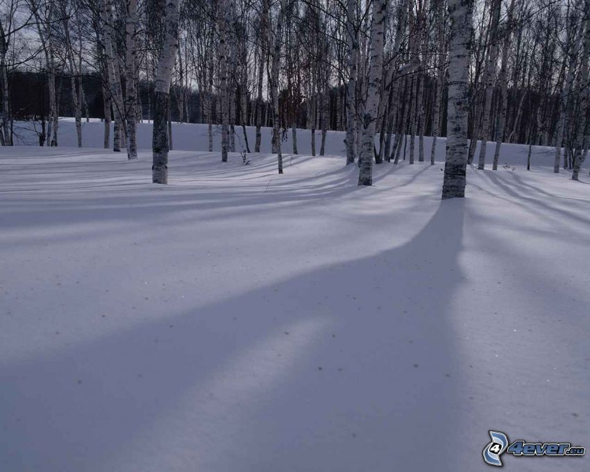 abedul congelado, bosque de abedules, nieve, árboles, naturaleza
