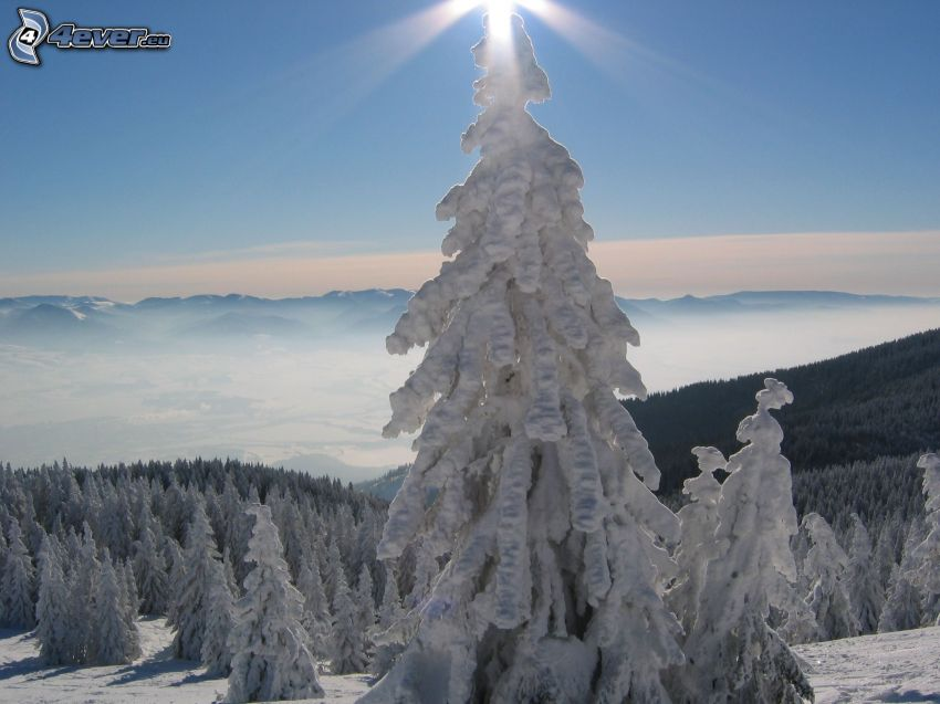árbol congelado, árboles coníferos, nieve, bosque, montañas, invierno, inversión térmica, rayos de sol
