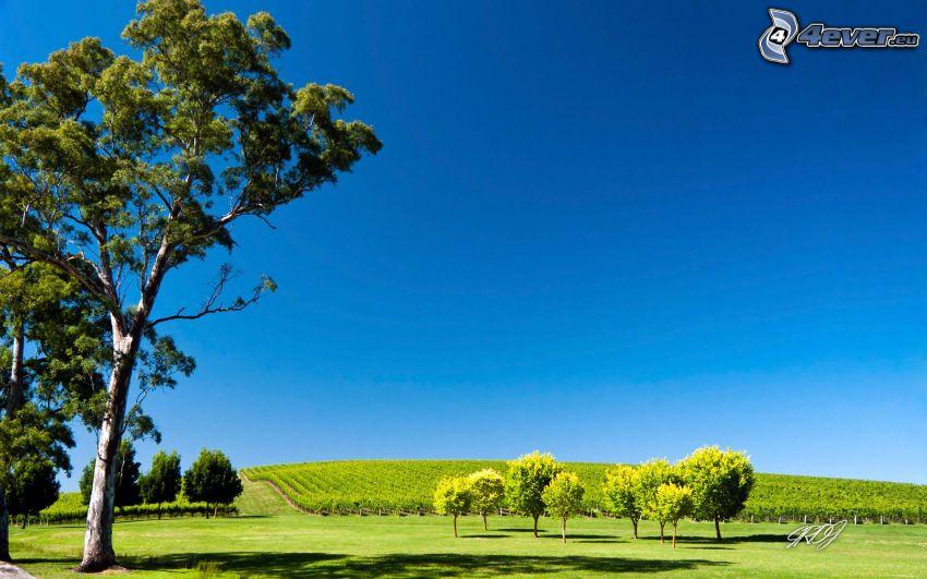 árbol ramificado, árboles, viña