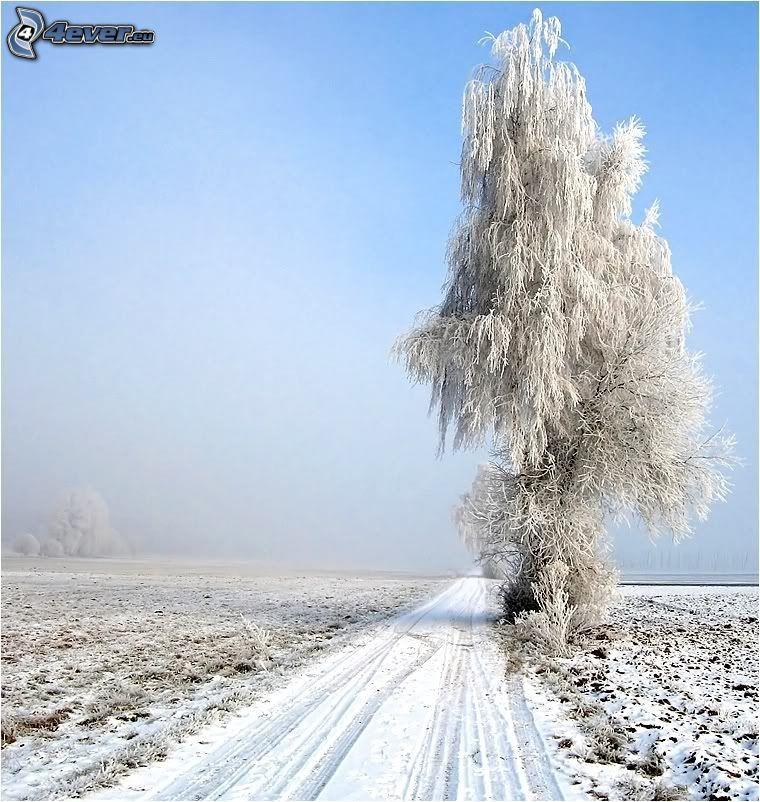 árbol solitario, álamo, campo, camino cubierto de nieve