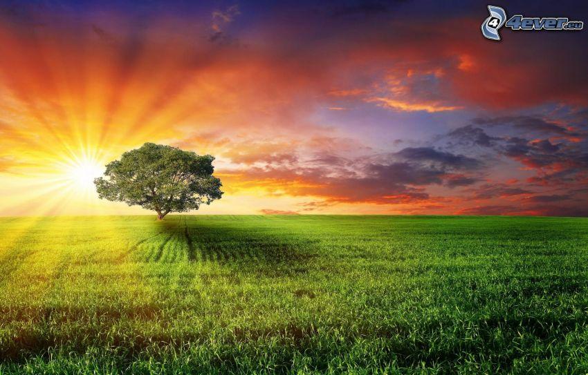 árbol solitario, campo, hierba, salida del sol, cielo anaranjado