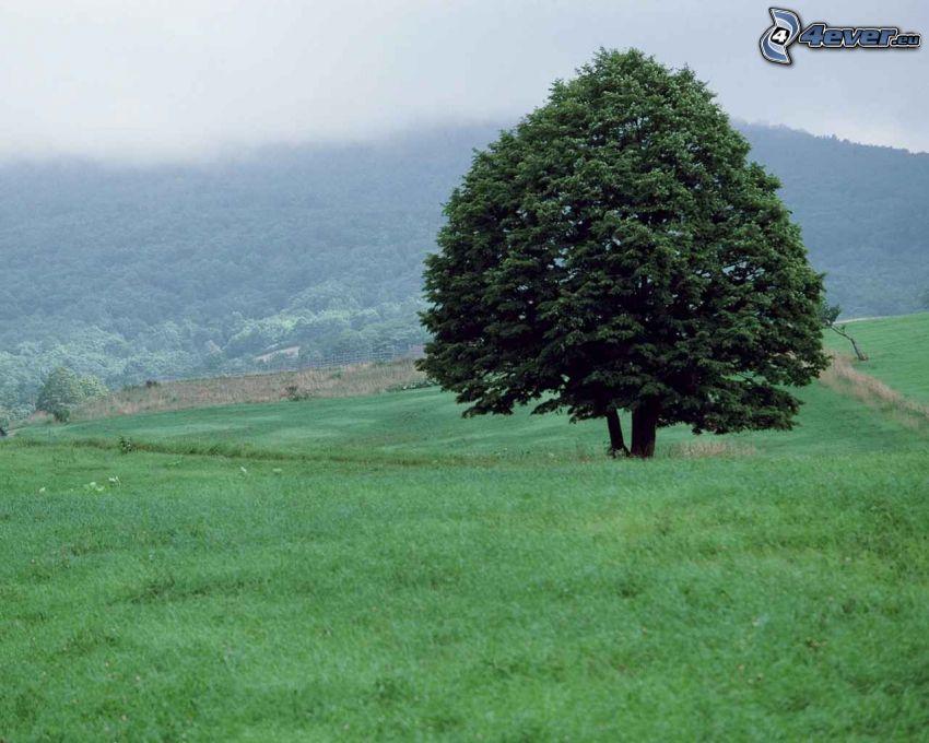 árbol solitario, prado, campo, hierba