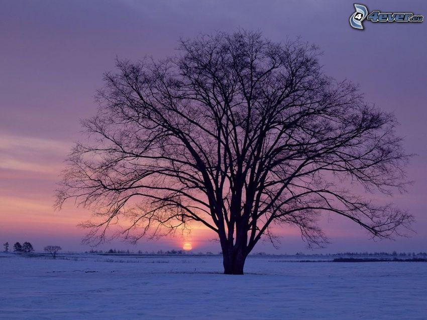 árbol solitario, prado cubierto de nieve, salida del sol en invierno