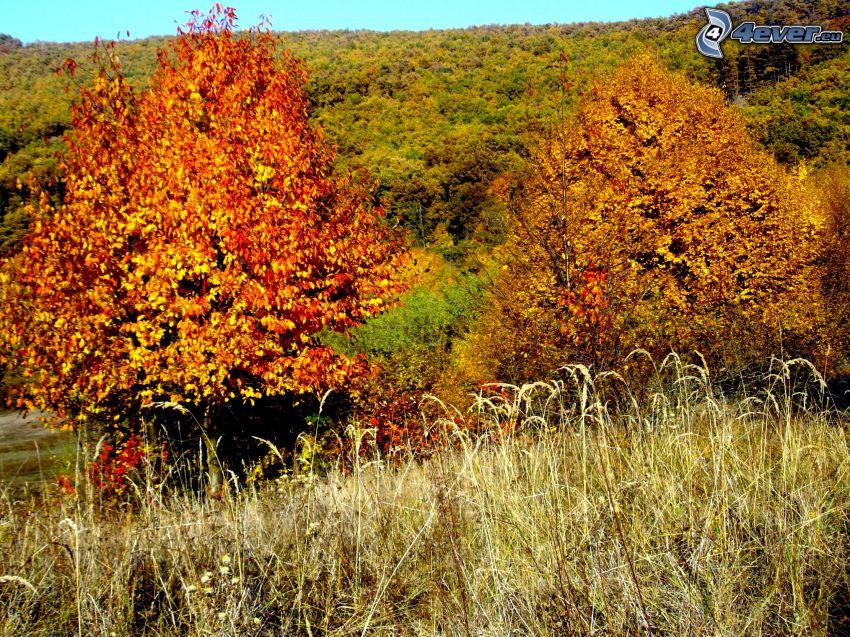 árboles amarillos, hierba seca, bosque, otoño