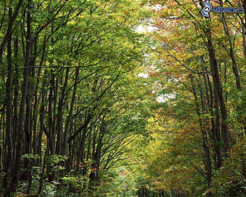 árboles de hoja caduca, bosque, verde