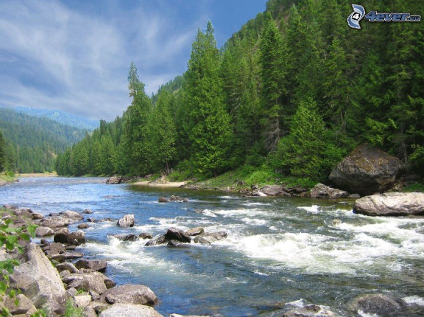 arroyo de bosque salvaje, árboles coníferos