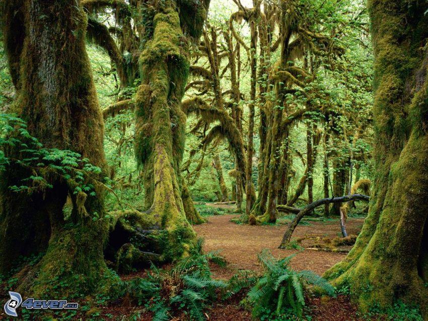 bosque, árboles, musgo, helechos