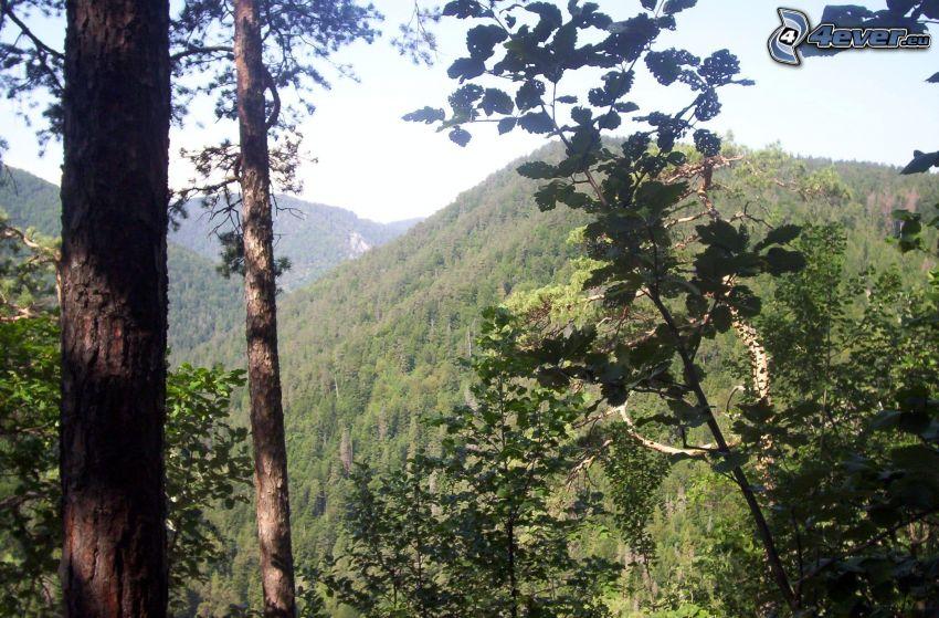 bosque, tribu, árboles, naturaleza, verde, montaña
