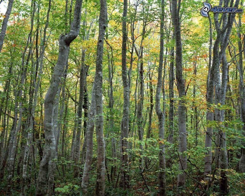 bosque de hayas, árboles de hoja caduca