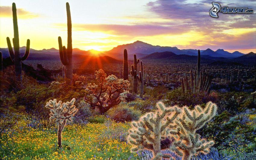 cactuses, puesta del sol, colina, flores