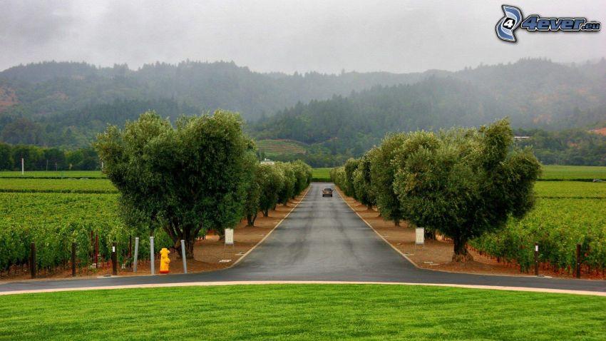 camino recto, arboleda, viña