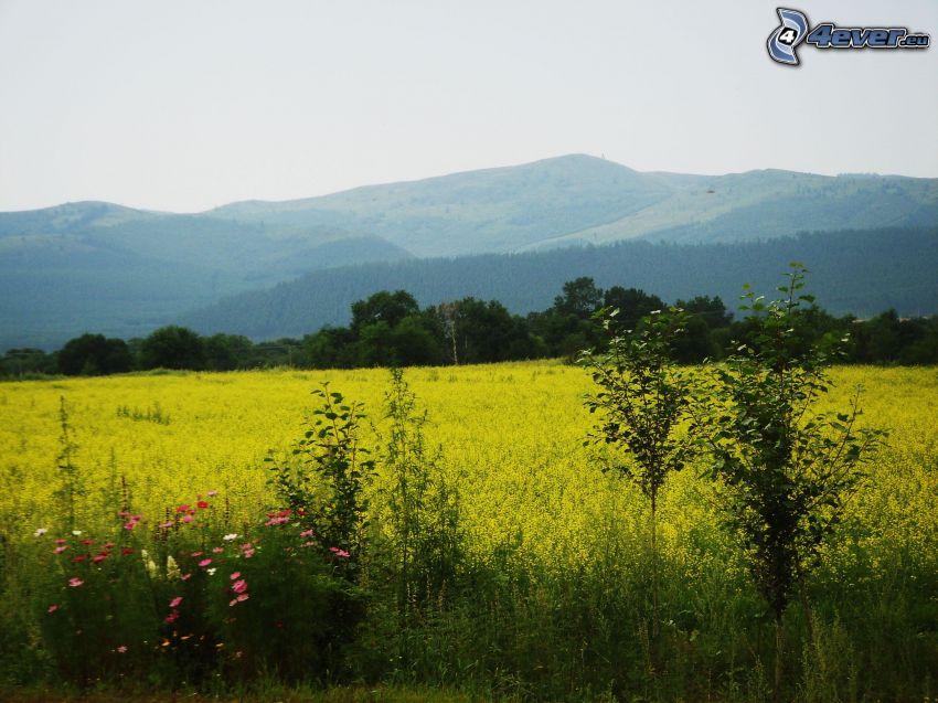 campo, flores amarillas, colina