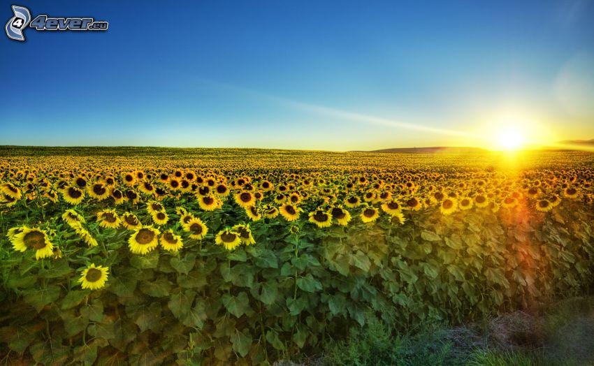 campo de girasol, puesta de sol sobre el campo, horizonte, cielo