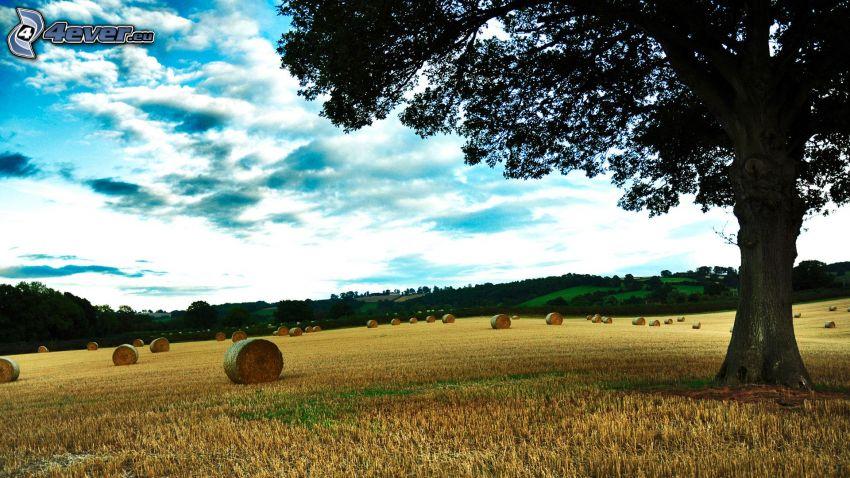 campo segado, árbol solitario, heno después de la cosecha