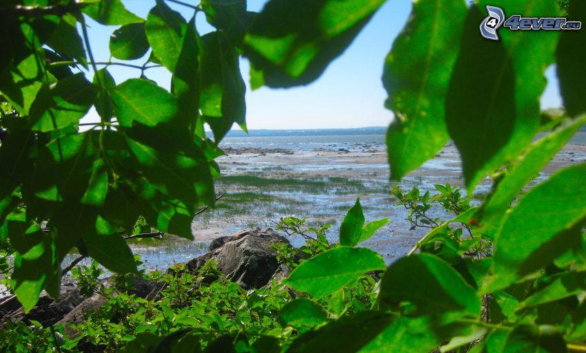 hojas verdes, lago