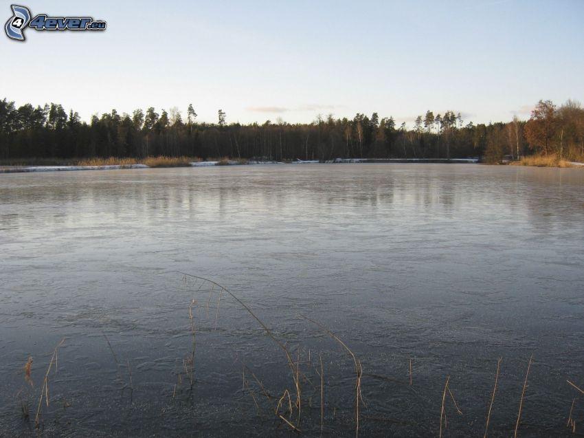 lago, bosque, agua