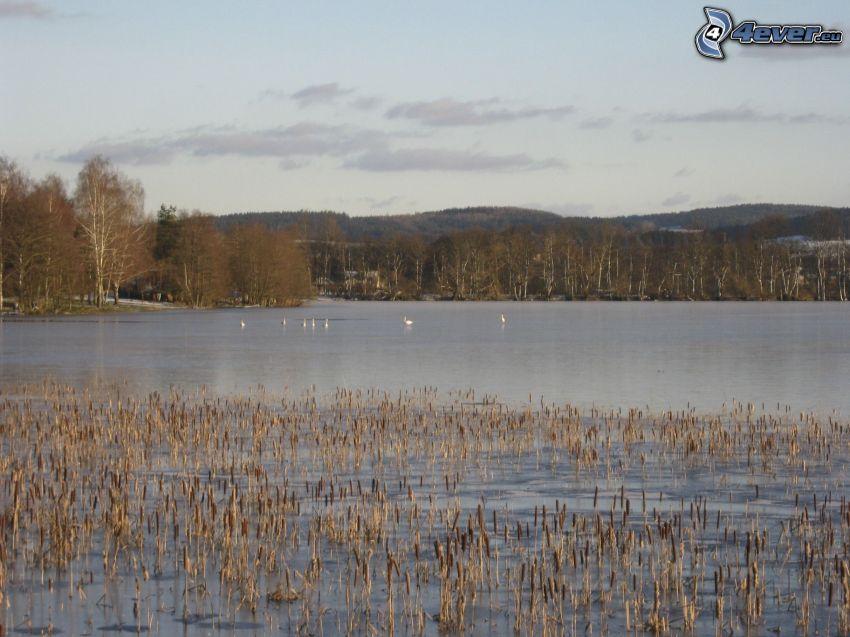 lago, pantano, aves, bosque