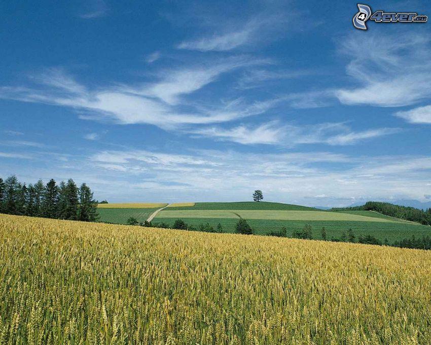 maizal, prado, paisaje, árboles coníferos