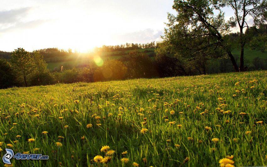 prado de diente de león, árboles, puesta de sol en la pradera