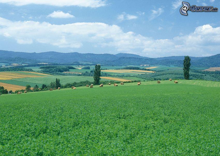 prado verde, campo, álamos, heno, paisaje