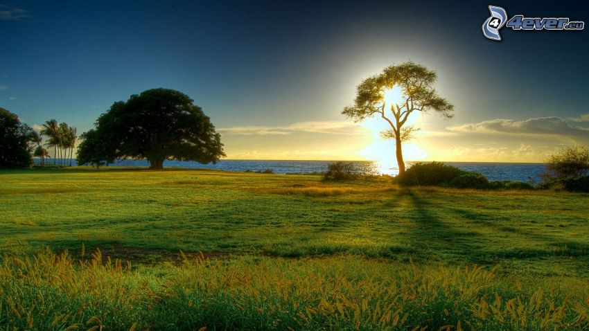puesta de sol sobre el mar, árboles solitarios, árbol enorme, costa, mar