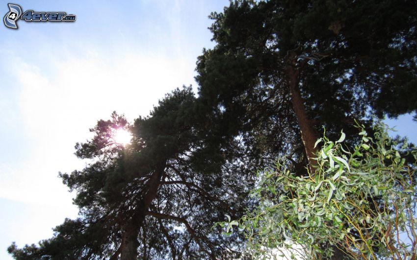 rayos de sol, pino, árboles, cielo