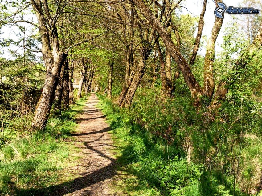 sendero tras un bosque, líneas de árboles, verde, árboles