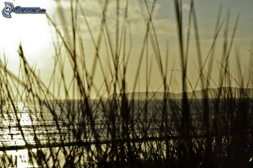 paja de hierba, mar