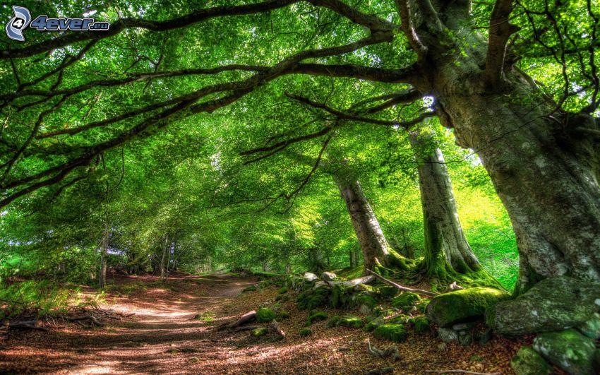 pista forestal, árboles, HDR