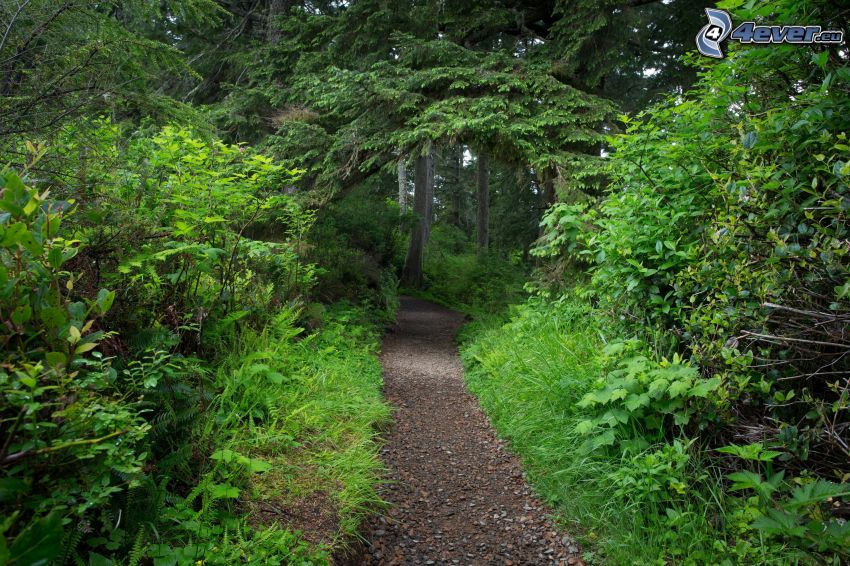 pista forestal, árboles coníferos