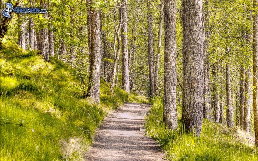 pista forestal, bosque, pino