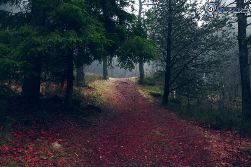 pista forestal, bosques de coníferas