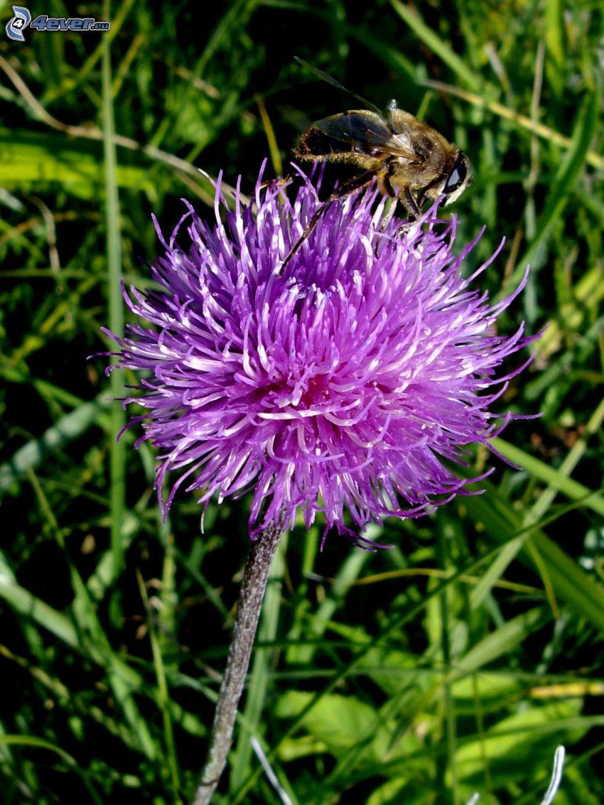 abeja en una flor, flor púrpura, hierba
