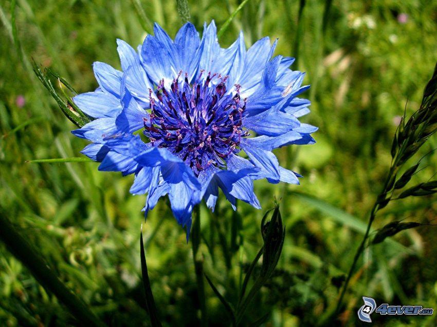 aciano, flor azul