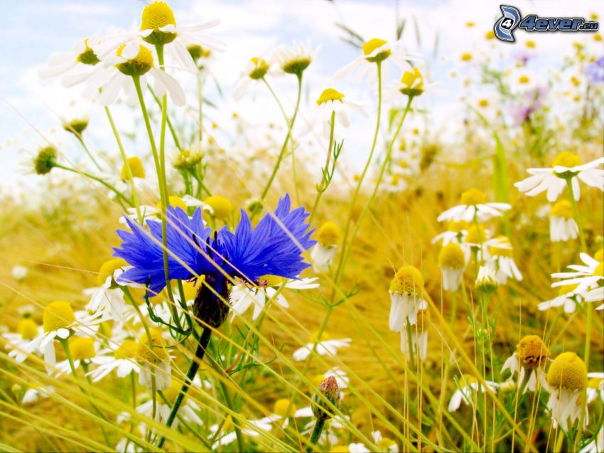 aciano, flores de campo