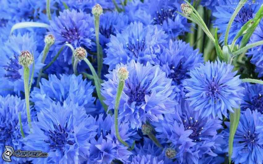 aciano, flores de color azul